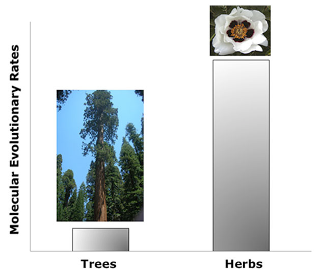 Figure 3: Difference in the molecular evolutionary rate of annual (herbs) vs. perennial (trees) plants. 2013 Nature Education (tree) Courtesy of Cordero. (flower) Photo via Wikimedia Commons.