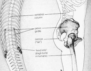 Station 5 Comparative Anatomy A structure that has little or no function in an organism, but is clearly related to a more fully developed structure in another organism, is known as a vestigial