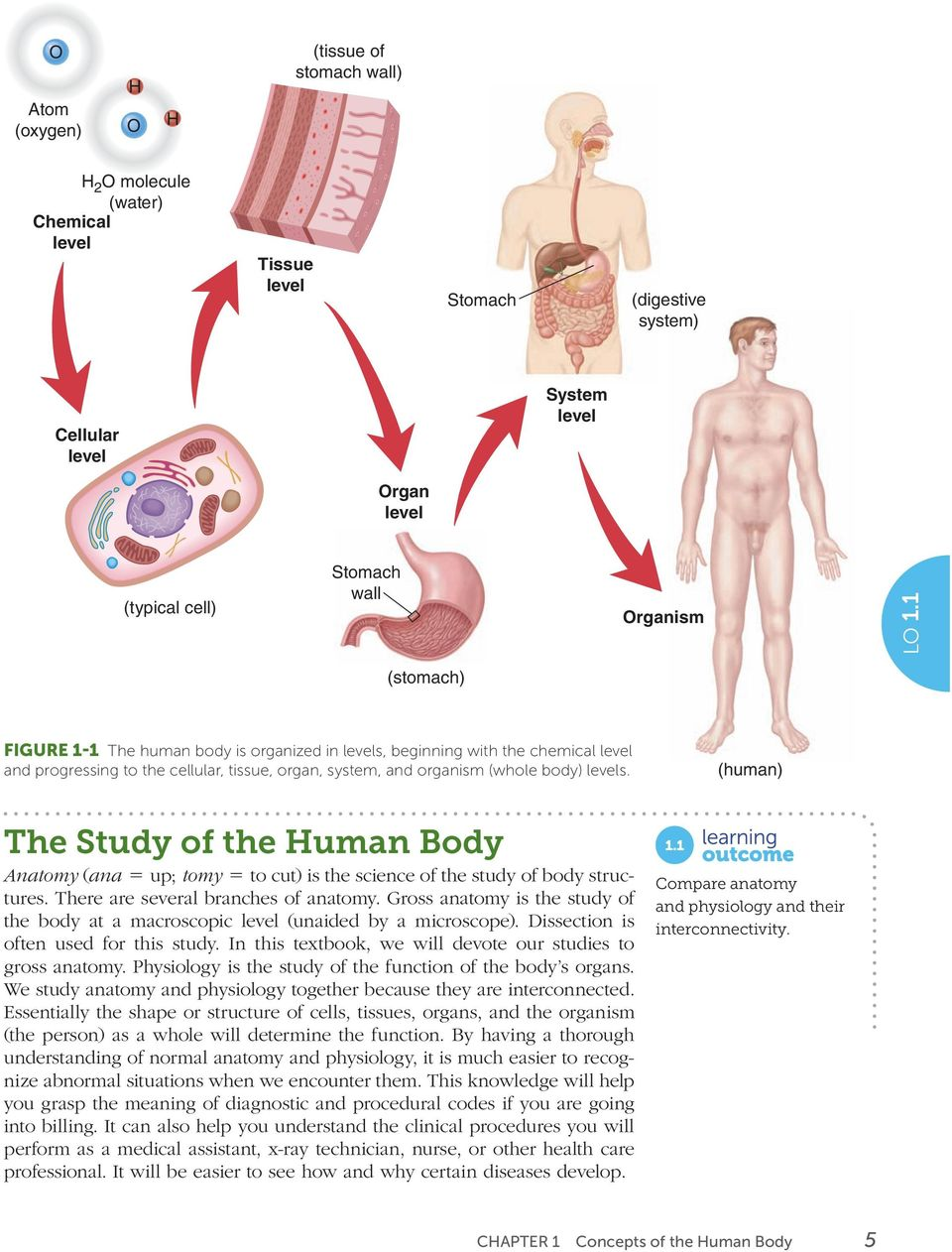 (human) The Study of the Human Body Anatomy ( ana 5 up; tomy 5 to cut) is the science of the study of body structures. There are several branches of anatomy.