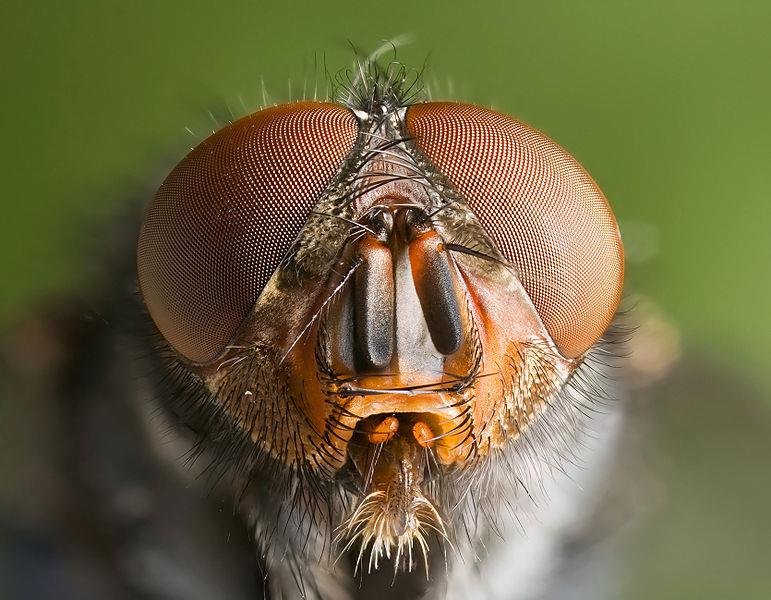 Flies Flies have a good sense of smell and good vision.