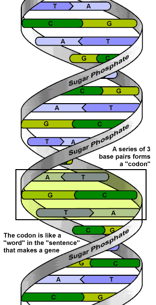 2 Codon: Group of 3 bases Genes: stretch of DNA that codes for a trait The code is the order of the bases (letters) Genes are hundreds or thousands of bases long Eye color gene Dimples gene Hair