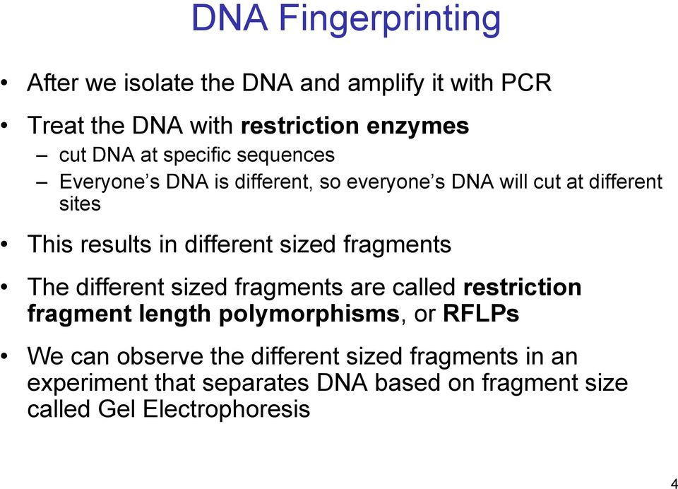 sized fragments The different sized fragments are called restriction fragment length polymorphisms, or RFLPs We can