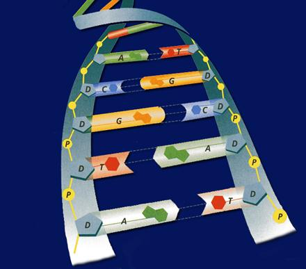 The structure of nucleotides In DNA, the amount of adenine is always equal to the