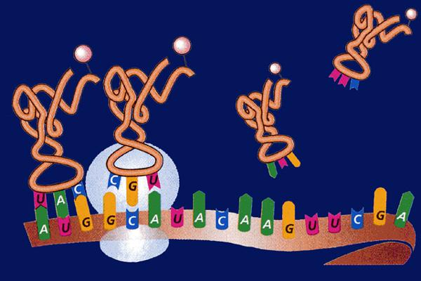 The role of transfer RNA A new trna molecule carrying