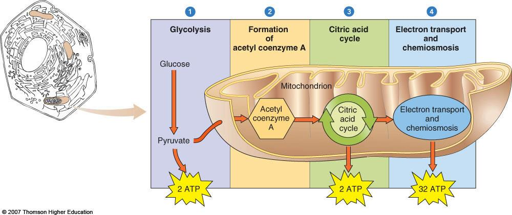 Lecture 8: Cellular Respiration I. Overview of Aerobic Respiration A. Redox process where energy contained in chemical bonds in glucose is converted to ATP 1. Aerobic respiration a. Requires oxygen C.
