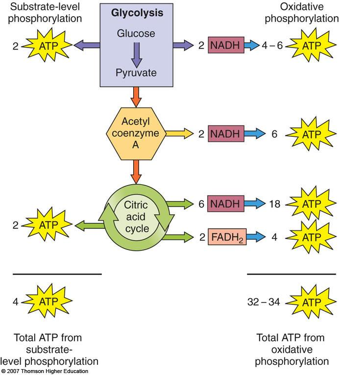 III. Aerobic respiration of one glucose molecule yields a maximum of 36 to 38 ATPs A. Glycolysis produces 2 ATP molecules B. 2 ATP molecules are produced in the citric acid cycle C.