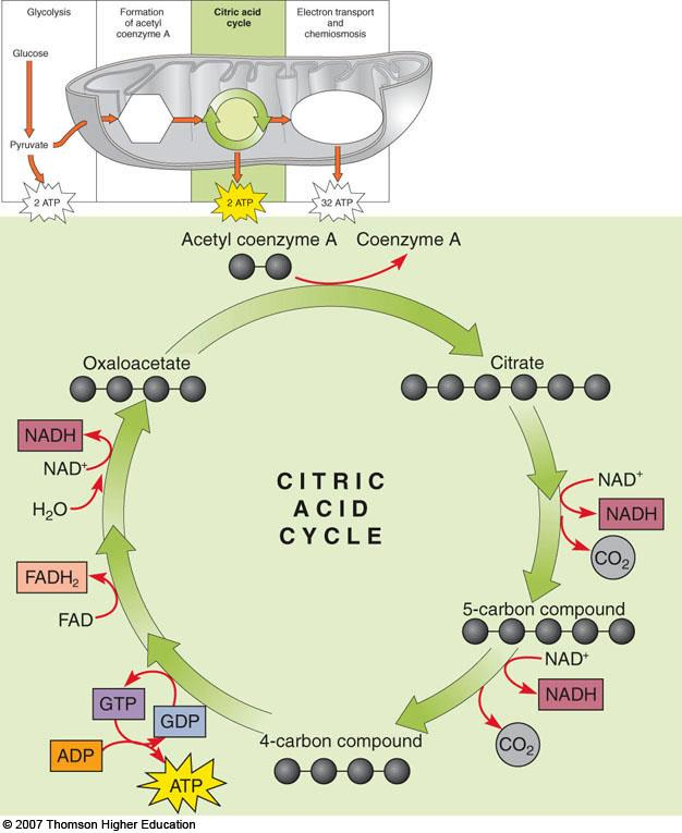 H. The citric acid cycle oxidizes acetyl CoA 1. The citric acid cycle is also known as TCA cycle or Krebs cycle 2. It occurs in the mitochondrion 3. Eight enzyme mediated steps a.