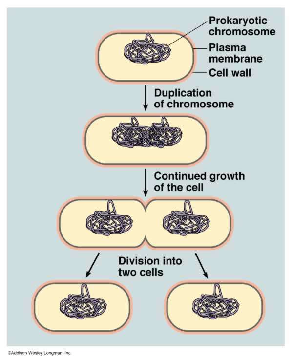 Binary Fission Process by which bacteria cells reproduce. 1. DNA attaches to cell membrane 2.
