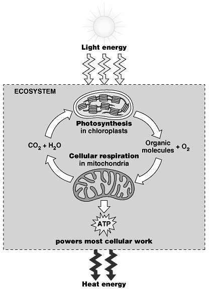 Producing ATP: the Universal Currency of Life All energy-releasing pathways ATP require characteristic starting materials Including unstable molecules, and in some cases ATP itself!