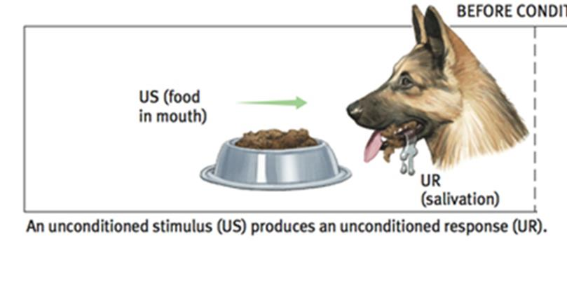 Pavlov s Experiments Parts of Classical Conditioning Unconditioned stimulus (US) in classical
