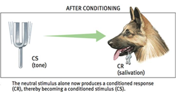 Pavlov s Experiments Parts of Classical Conditioning Conditioned stimulus (CS) in classical conditioning, an originally