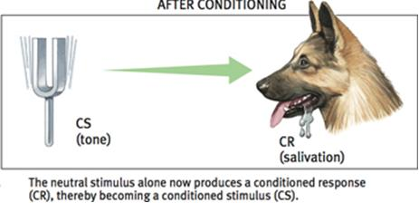 Pavlov s Experiments Parts of Classical Conditioning Conditioned response (CR) in classical