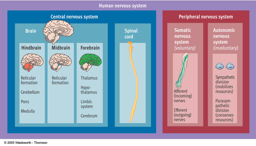 Figure 3.5 Psychology: Themes and Variations, Sixth Edition, Briefer Version, Wayne Weiten Figure 3.5 Organization of the human nervous system.