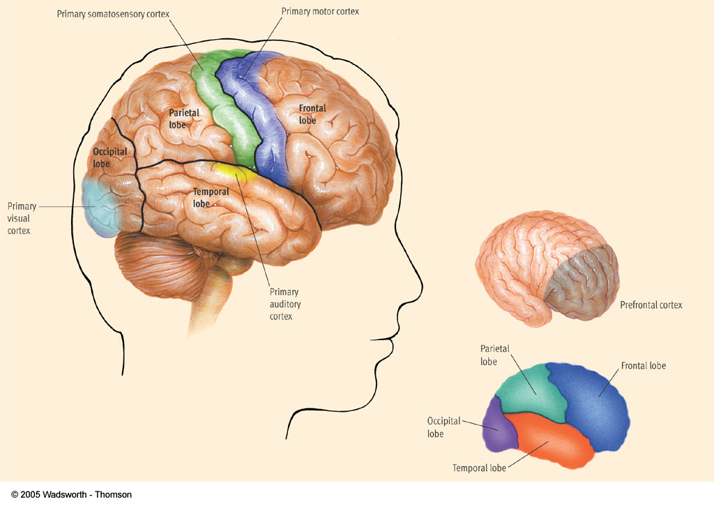 View of the Brain Figure 3.14 The cerebral cortex in humans. The cerebral cortex consists of right and left halves, called cerebral hemispheres. This diagram provides a view of the right hemisphere.