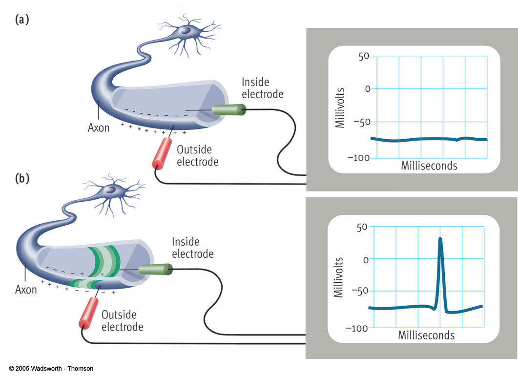 Figure 3.2. Figure 3.2. The neural impulse. The electrochemical properties of the neuron allow it to transmit signals.