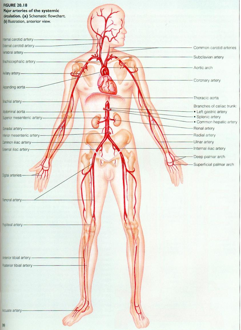 Parts Of The Circulatory System Pdf