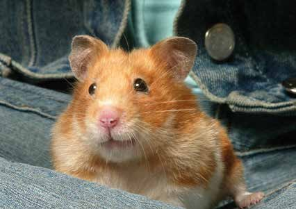 Food for thought A commercial hamster mix is a good basis for your pet s diet. Hamsters also like small pieces of fruit and vegetables, like a slice of apple or a small sprig of cauliflower.