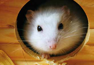 Exercise and entertainment Hamsters are most active during the evening which can be a problem if they are kept in a child s bedroom.