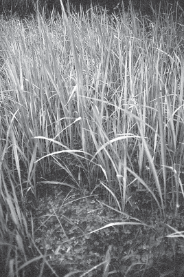 Maintenance How to maintain a No-Till System As the wheat ripens, any weeds should be removed.