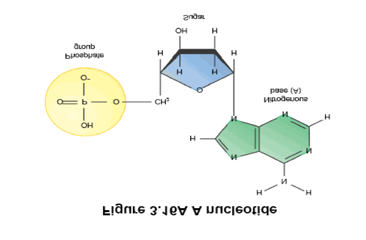 Composition:,,,, and. Monomer: These subunits are made up of three things: 1. phosphate group 2.