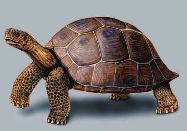 The Galápagos tortoise has become a prized tourist attraction on the Galápagos Islands. (Illustration by Joseph E. Trumpey. Reproduced by permission.