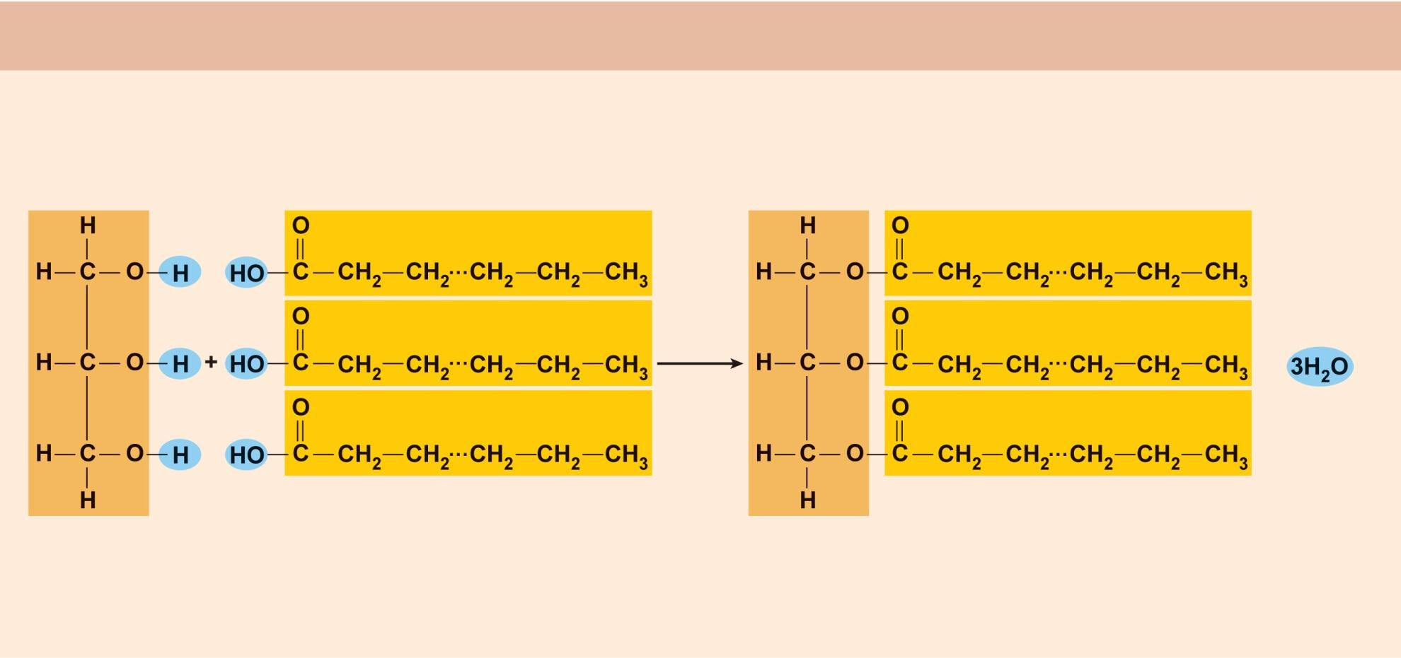 (a) Triglyceride formation Three fatty acid chains are bound to glycerol by dehydration