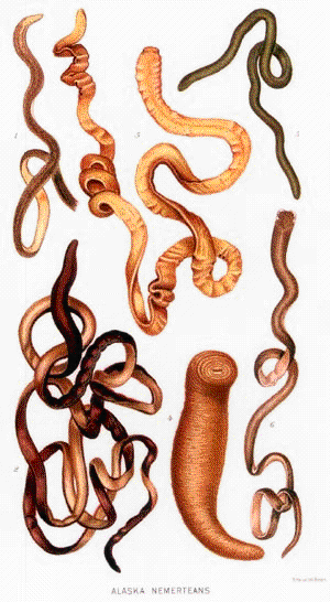 Worms: Flatworms,