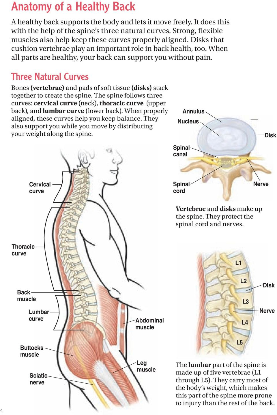When all parts are healthy, your back can support you without pain. Three Natural Curves Bones (vertebrae) and pads of soft tissue (disks) stack together to create the spine.