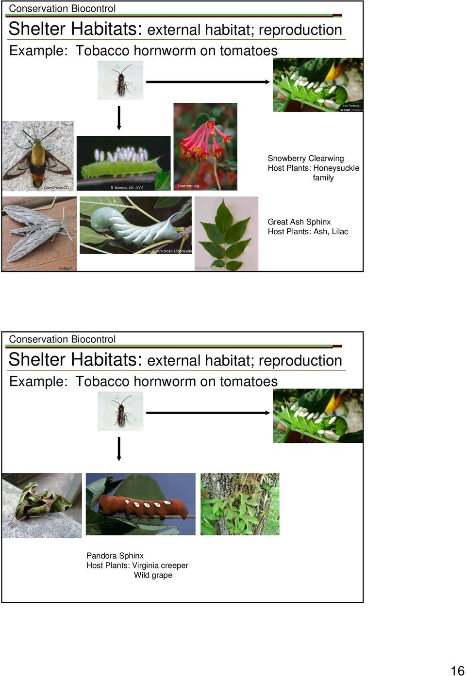 org Snowberry Clearwing Host Plants: Honeysuckle family Great Ash Sphinx Host Plants: Ash, Lilac nitro.biosci.