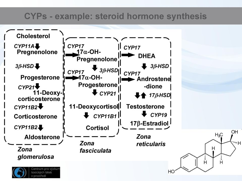 -OH- Pregnenolone 3 -HSD 17 -OH- Progesterone CYP21 11-Deoxycortisol CYP11B1 Cortisol Zona