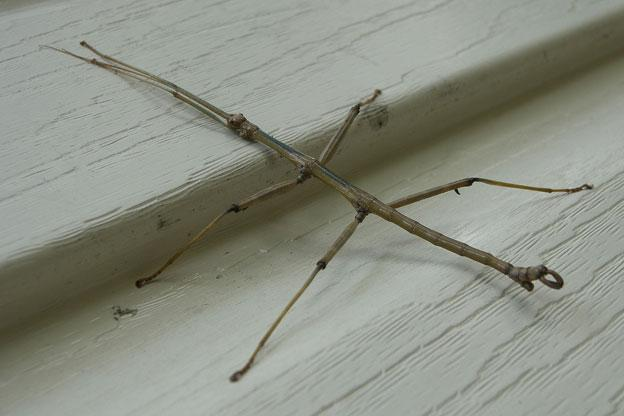 Walking Stick These insects have a very long body with long legs and antennae. They blend in with their surroundings and are hard to see.