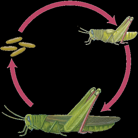 Insect Life Cycles Eggs hatch into larvae that don t look anything like the adults. The larvae eat, grow, and molt. When they are grown, they turn into pupae. The pupa stage is a time of change.