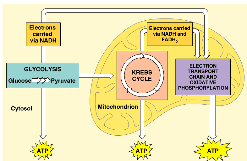 Cellular respiration stage 1 glycolysis ch 9 pdf verview of cellular respiration 4 metabolic stages anaerobic respiration 1 ccuart Gallery