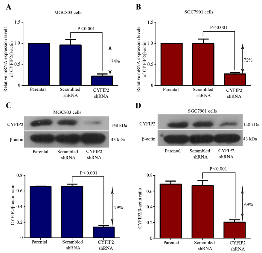 ONCOLOGY LETTERS 3 Figure 1. Evaluation of the knockdown efficiency of CYFIP2 following shrna transfection. CYFIP2 mrna expression levels in (A) MGC803 and (B) SGC7901 cells.