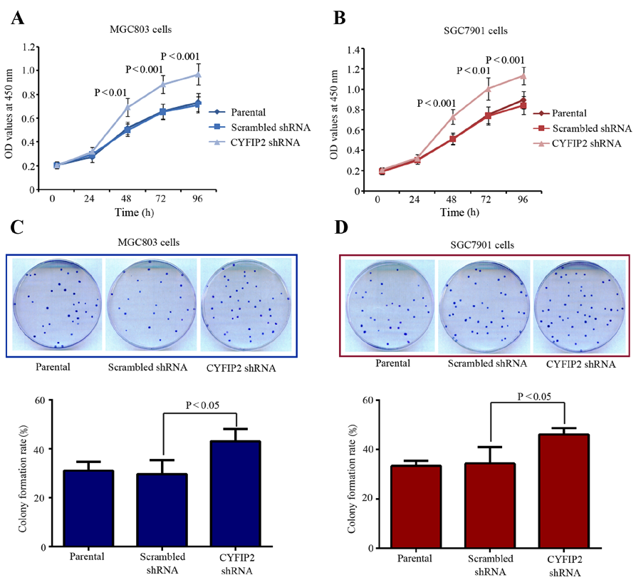 4 JIAO et al: INHIBITION OF CYFIP2 PROMOTES CHEMORESISTANCE IN GASTRIC CANCER CELLS Figure 2. CYFIP2 inhibition promotes gastric cancer cell growth in vitro.
