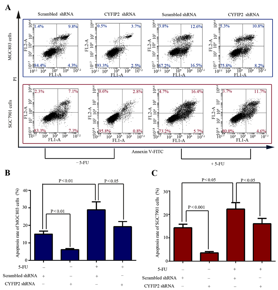 ONCOLOGY LETTERS 5 Figure 3. CYFIP2 knockdown induces 5 FU resistance in gastric cancer cells in vitro. (A) MGC803 and SGC7901 cell apoptosis was quantified using flow cytometric analysis.