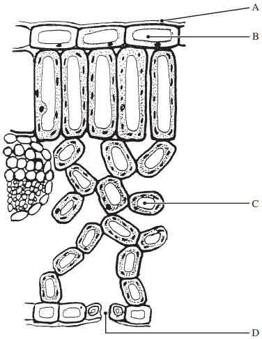 Onion Cell 40x Labeled Diagram