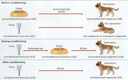 Classical Conditioning Pavlov s device for recording salivation Pavlov s Classic Experiment Classical Conditioning: Terminology Unconditioned Stimulus (US or UCS) stimulus that
