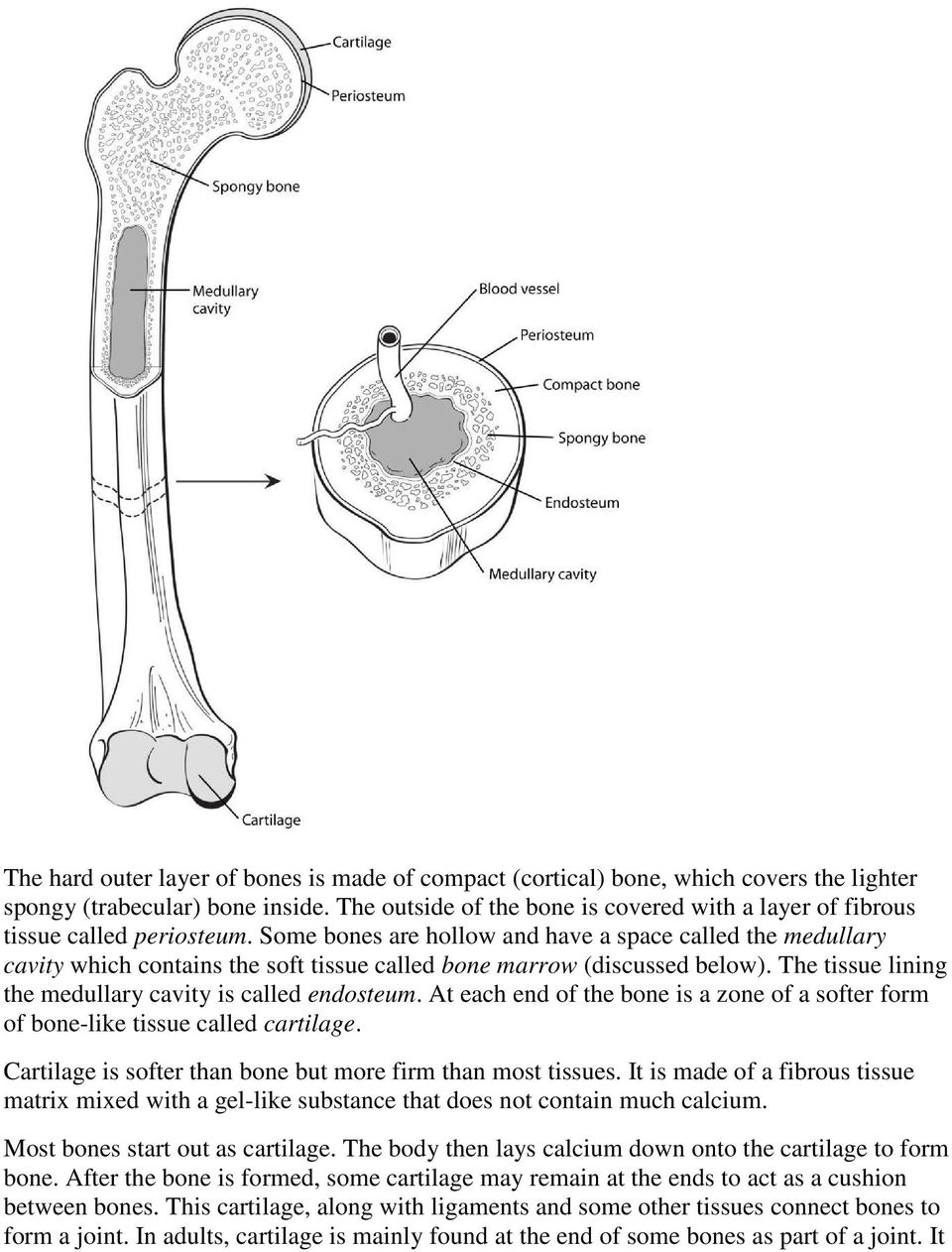 Some bones are hollow and have a space called the medullary cavity which contains the soft tissue called bone marrow (discussed below). The tissue lining the medullary cavity is called endosteum.