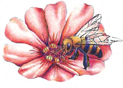 Word Match a. pollen basket b. beeswax c. nectar d. ovary e. royal jelly f. wax g. antenna h. simple i. hybrid j. stamen k. style l. forage (Page 1 of 2) m. gland n. stinger o. honeycomb p. honey q.