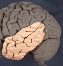 Cerebrum Divided into two the right and left cerebral hemispheres Each hemisphere is covering with gray matter of 2-5 mm thick, folded tissue of nerve cell bodies called the cerebral cortex The gray