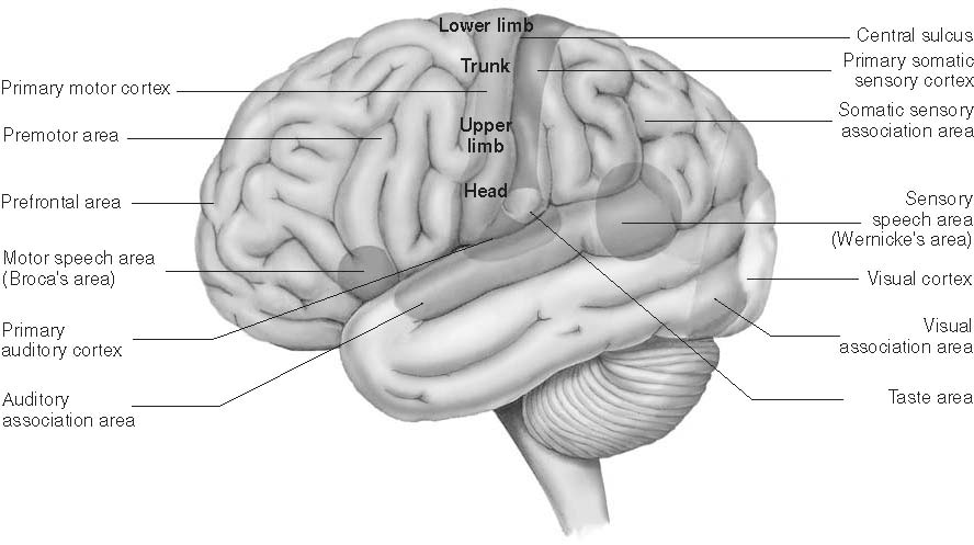 Sensory-Specific Areas (Figure 4.