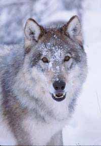 Reintroduced in 1995 14 wolves