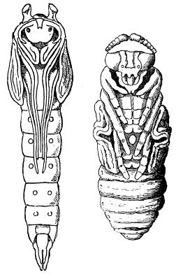 8a. Mummy-like; wings, legs, antennae held tight against body wall, may or may not have a case or silken cocoon pupa (sing.)pupae (pl., Figure 6) 8b.