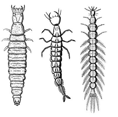 11a. Worm-like body with a distinct head capsule and no structures on the end of the abdomen;