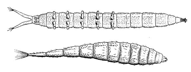 Worm-like body with a distinct head capsule and a breathing tube or other structure at the end