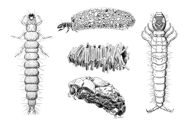abdominal segment; ranges in size from 10 to 90mm (hellgrammites)... Neuroptera (Figure 10) 12b.