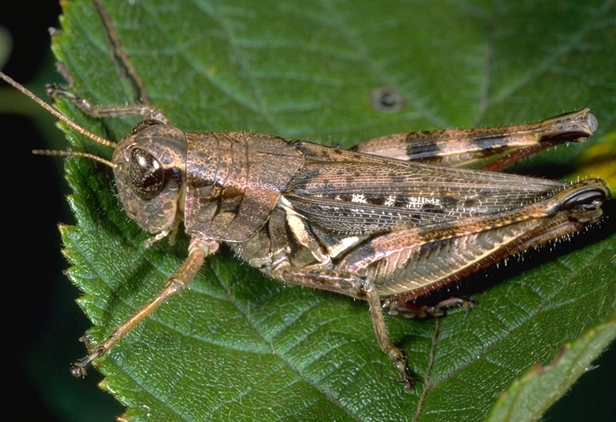 Grasshoppers are easy to identify because of their large back legs, which they use to jump high into the air to escape predators. Grasshoppers also have large wings.