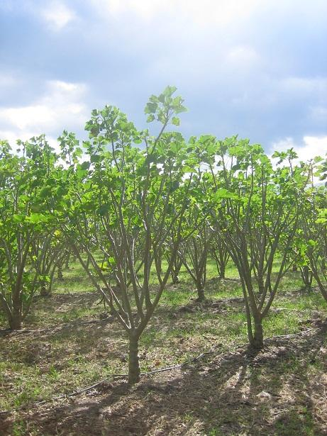 2. Findings/ Honduras Jatropha so far no success Results in the 3d year: Low yields (up to 398 kg/ha/yr in farmer plots) Up to 535 kg/ha/yr in experimental plots