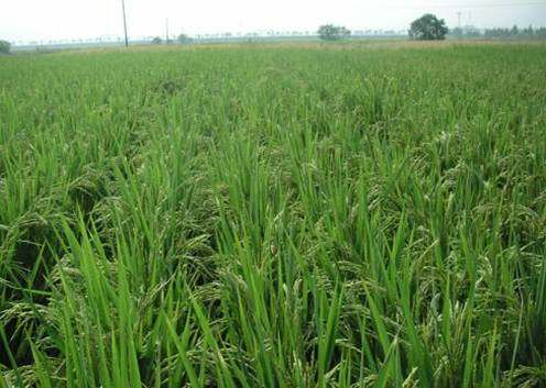 Growth stage of rice transplanted by
